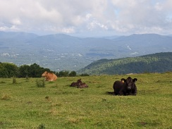 hiking with the cattle on bearwallow mountain